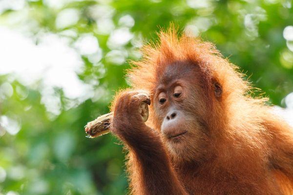 Na Sumatru za orangutany a slony